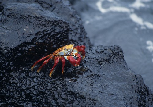 Sally Lightfoot crab, Puerto Ayora, Glap by Derek Keats, on Flickr
