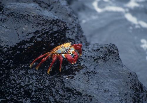 Sally Lightfoot crab, Puerto Ayora, Glap by Derek Keats, on Flickr