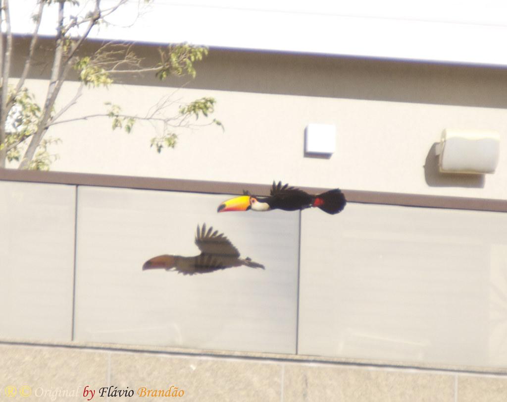 Série com o Tucano-toco ou Tucanuçu (Ramphastos toco) Series with the Toco Toucan - 15-05-2011 - IMG 1750