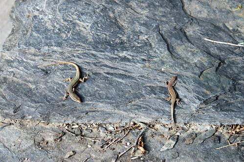 Lizard piscis