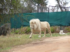 Johannesburg Lions (baggas) Tags: southafrica lions lionpark