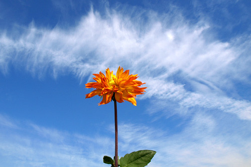 Dahlia and Autumn sky