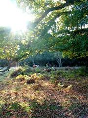 Forest cattle at Bolderwood (paulinuk99999 (I'm back!!)) Tags: autumn sony hampshire newforest a700 alpha700 sonyalpha700 paulinuk99999 millifordcreek sony700