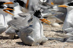 Lesser Crested Tern Bird (MOHAMMED AL-SALEH) Tags: c w v  soe mohammad  picturecollection vwc flickrsbest  alsaleh diamondclassphotographer   kuwaitvoluntaryworkcenter