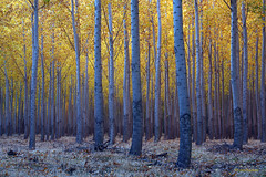 Blue and yellow (walla2chick) Tags: blue autumn trees usa yellow silver or foliage trunks poplars umatilla 6798
