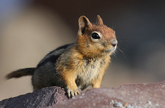 One Last One...For Now (4Durt) Tags: cute animal chipmunk craterlake goldenmantledgroundsquirrel curttoumanian cascadegoldenmantledgroundsquirrel