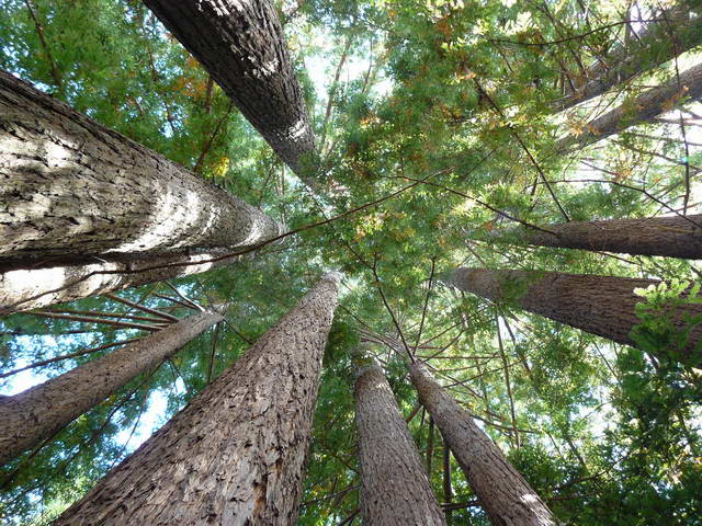 2. Looking up an (adolescent) redwood cathedral grove (non-zoom) (photographer: Michael McNeil)
