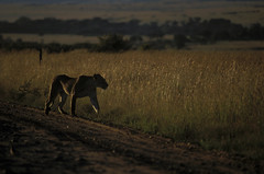A Lion, Amboseli National Park, Kenya1998 (arthurchengjca) Tags: africa lion bigfive nartionalpark