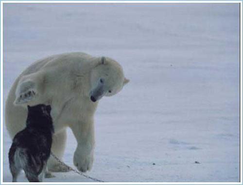 Polar Bear and Husky 2