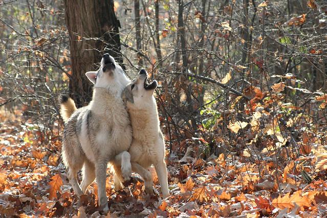 Lupi ululì (Werewolves? There wolf... there castle!). Villaggio Verde, Cavallirio, 18 novembre 2007