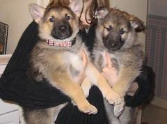 German Shepherd/malamute/arctic wolf puppies (ilovemycamera) Tags: pets puppy puppies malamute germanshepherd arcticwolf arcticwolfmix