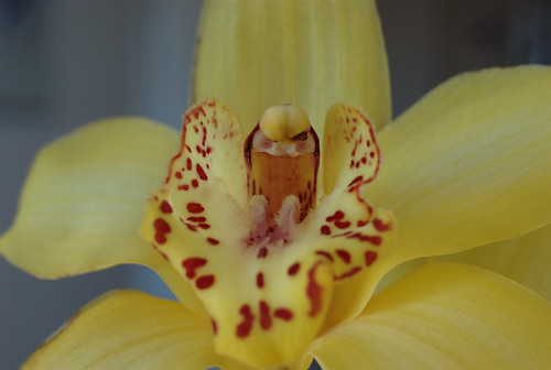 Yellow Orchid - IMGP5460