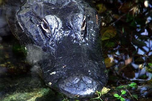 gator head Sweetwater Strand