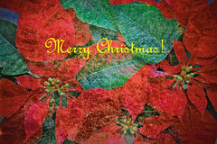 another christmas greeting card (DocTony Photography) Tags: christmas red flower macro green leaves petals nikon poinsettia greetings merry merrychristmas d300 aplusphoto doctony 105f28vr merrychristmasdearfriend