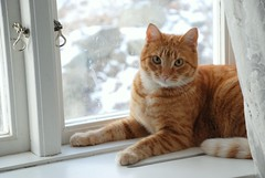 What are you looking at? (Miss Claeson) Tags: winter snow window cat nikon sweden curtain dalar d80 nikond80