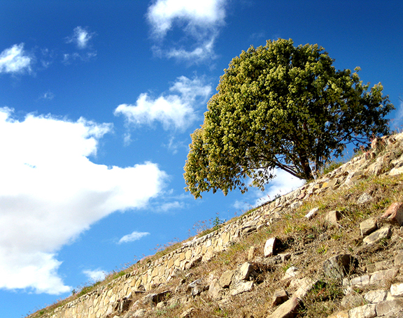 Tree in Monte Alban Ruins
