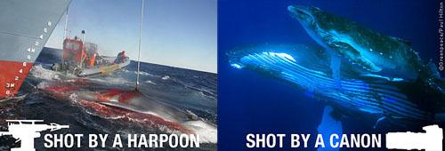 La diferencia entre disparar a ballenas con arpones y hacerlo con cañones