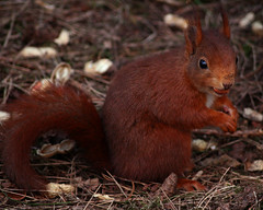 Red Squirrel (Ian Lambert) Tags: uk red cute nature animal forest point squirrel eating critter wildlife nuts adorable reserve shy squirrell national trust british nut merseyside formby squirell naturesfinest abigfave enstantane worldbest anawesomeshot theperfectphotographer
