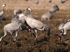 P2132043 (lutz6lucker) Tags: cranes kraniche grues cendrées
