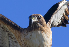 Red Tailed Hawk 3 9500 (casch52) Tags: road county red 20d closeup canon photo hawk wing beak photograph raptor soe placer tailed placercounty birdwatcher roseville supershot fiddyment familygetty