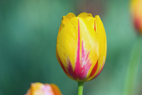 yellow-red tulips, istanbul tulip festival, pentax k10d