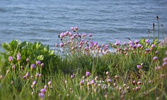 Thrift (hoxtonboy) Tags: may dorset april zzz armeriamaritima thift seapinks unature hoxtonboy dorset1