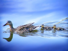 In tow (James Jordan) Tags: baby nature duck babies young mother ducks ducklings 100v10f follow swin naturesfinest