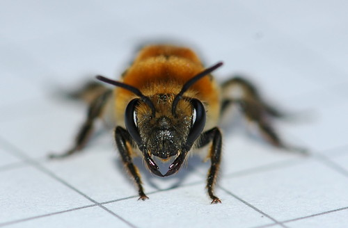 Colletes thoracicus (Colletidae), Cellophane Bee
