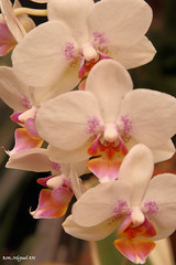 pondering the responsibility of an orchids... (Kamoteus (A New Beginning)) Tags: canon rebel orchids northcarolina canonrebel rebelxt canonrebelxt eosrebel kamote flowersofspring biltmoreestates rebelxti eos400d eosrebelxti teampilipinas flickristasindios kamoteus2003 wonderfulworldofflowers kamoteus burabog larawangpinoy awesomeblossoms ronmiguelrn