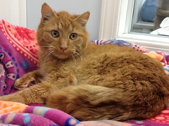 Marmalade - 5 year old neutered male