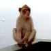 Gib011 Barbary Ape, Top of the Rock, Gibraltar.JPEG