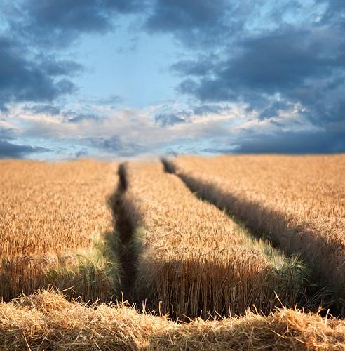 corn field, wheat field