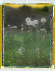 Danderoid (melissajane307) Tags: film polaroid spring weeds backyard instant 690 dandelions peelapart