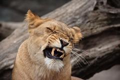 Hagenbeck (Torplo) Tags: animal mammal deutschland hamburg location mammalia lwe ort ghnen zahn stellingen sugetier zoohagenbeck