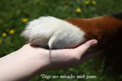 in my hand heart  (alina.) Tags: summer dog brown white mountain black green grass canon eos paw hand quote sommer weeks bernesemountaindog bernese 52 752 52weeks 1000d