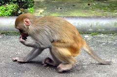 Macaque (Linda DV) Tags: travel india geotagged himal