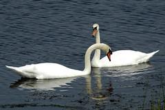 Mute Swans, Plum Island, MA (flyingibis) Tags: