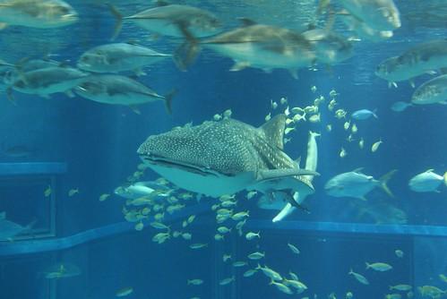 japan 1 animal wildlife whale shark osaka aquarium osaka japan