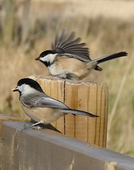 My favorite models!! (perfectday_s) Tags: bird nature wing feather chickadee ornithology oiseau bestofflickr plume aile polaris msange naturesfinest ornithologie 10faves 25faves beautifulcapture mywinners impressedbeauty goldenphotographer avianexcellence diamondclassphotographer flickrdiamond citrits