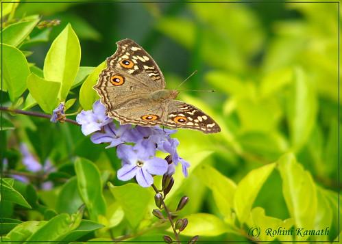 HL-Butterfly-LemonPansy