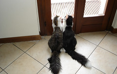 Brighella and Pallina (Alinabionda - Crazy Girl) Tags: pet cat gatto animalidomestici photosrus