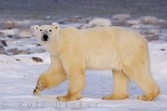 Polar bear Churchill Manitoba by Nature Travel Photography