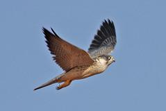 032054-IMG_4858 Grey Falcon (Falco hypoleucos) (ajmatthehiddenhouse) Tags: greyfalcon grayfalcon falcohypoleucos falco hypoleucos sa southaustralia bird 2007 australia