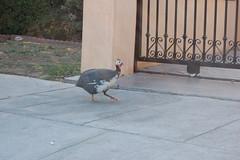 Gardner Street Guinea Fowl