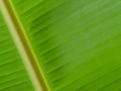Banana leaf (edumoreira) Tags: macro verde green yellow banana amarelo wowiekazowie betterthangood