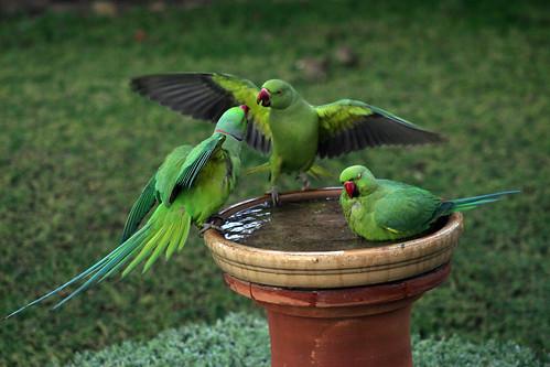 Rose-ringed parakeets at the water dish