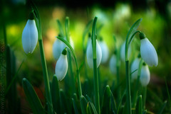 """2008_366030 - Snowdrops • <a style=""""font-size:0.8em;"""" href=""""http://www.flickr.com/photos/84668659@N00/2231759538/"""" target=""""_blank"""">View on Flickr</a>"""