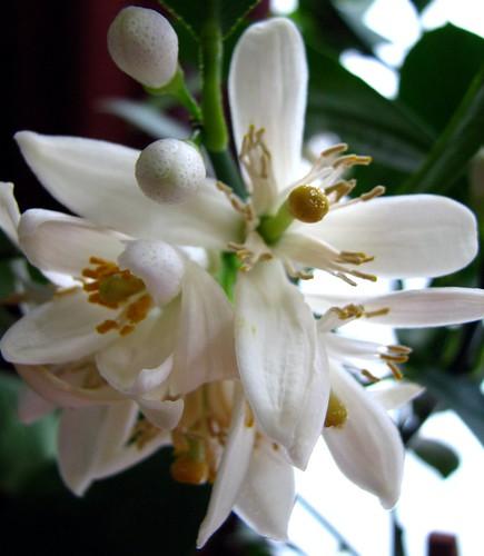 Meyer Lemon Tree Flower