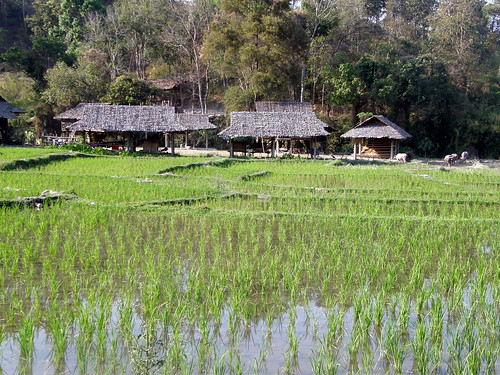 Rice paddies in hill tribe village