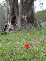 20080307 - Friday Olive Tree Blogging